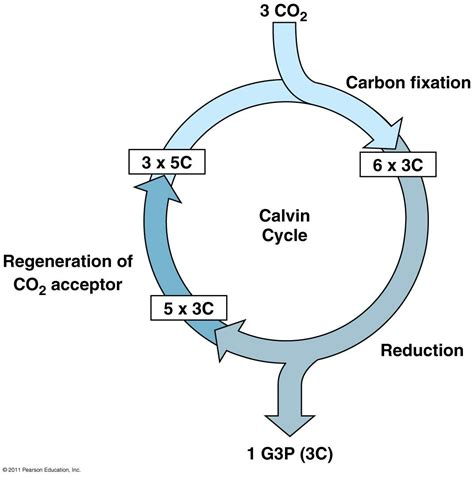 biography definition in biology calvin cycle diagram simple google search biology
