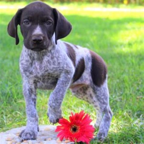 german shorthaired pointer puppies price german shorthaired pointer purebred puppy litters for sale in hoobly classifieds