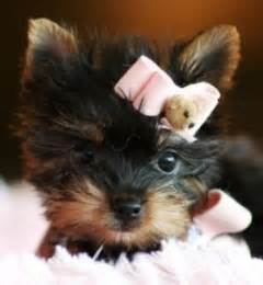 applehead yorkie dogs provo ut free classified ads