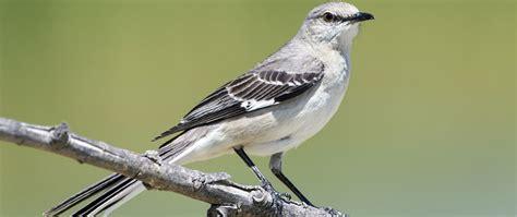 featured birds northern mockingbirds