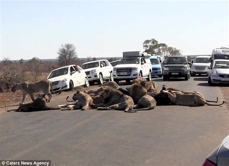 Todays News Brought To You From The National Enquirer by Pride Of Lions Stop Traffic As They Eat Buffalo Daily