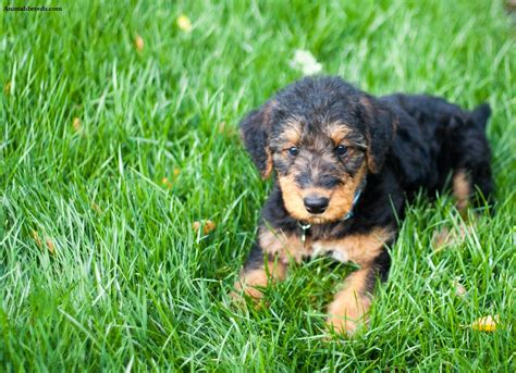 airedale dogs airedale terrier puppies rescue pictures information temperament