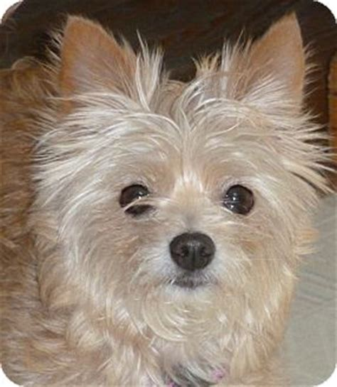 puppies for adoption omaha ne honey adoption pending adopted omaha ne yorkie terrier maltese mix