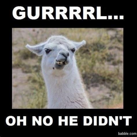 Llama Memes - 25 best ideas about llamas on pinterest pics of llamas