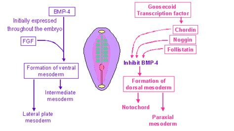 pattern formation notochord pattern formation in the embryo