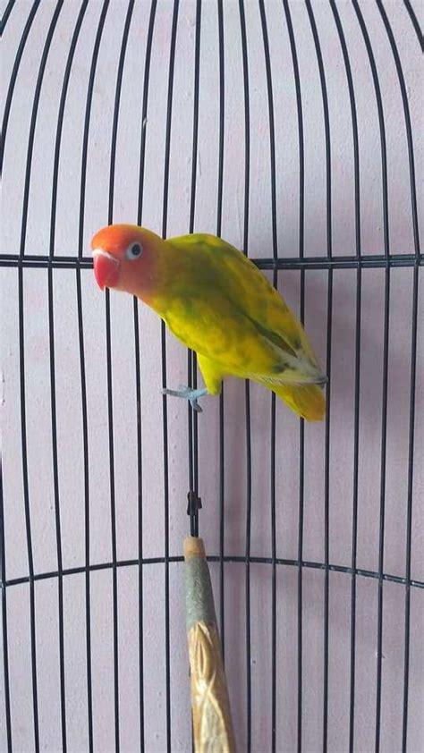 Harga Lovebird Clear Pied lovebird bs pakan untuk lovebird lovebird