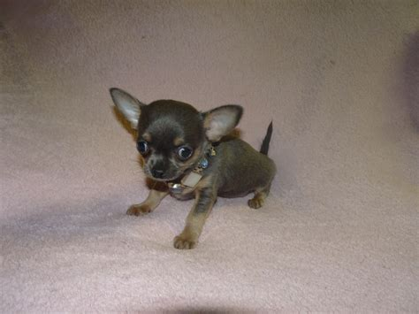 chihuahua puppies for sale in california chihuahua puppies for sale california avenue surratts