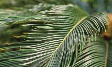 sago palm dogs rat bait toxicosis in a clinician s brief