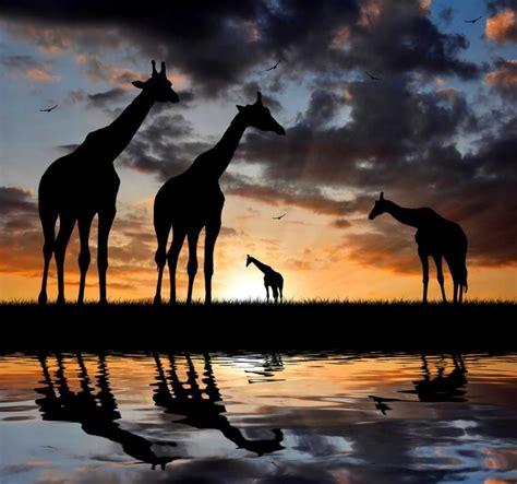 essential kenya safaris  masai mara lake nakuru zicasso