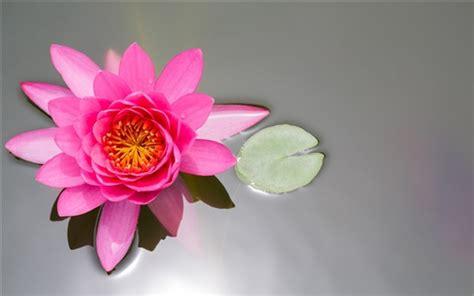 bilder teichen 3092 rosa blume lotus teich seerose blatt hintergrundbilder