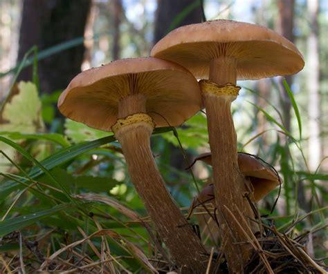 cucinare chiodini funghi chiodini o armillaria mellea che funghi sono