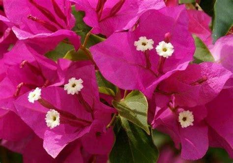 bouganville fiore coltivazione bouganville fiori in giardino bouganville