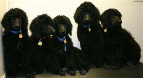 rescue washington state poodle adoption washington state dogs in our photo
