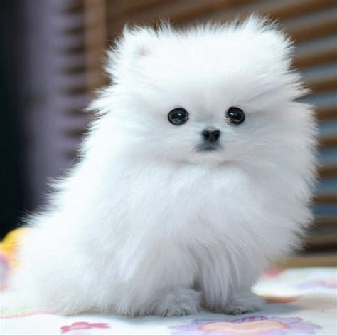 white fluffy dogs fluffy dogs quotes