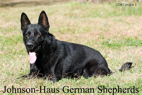 german shepherd puppies maryland johnson haus german shepherd breeder trainer frederick maryland
