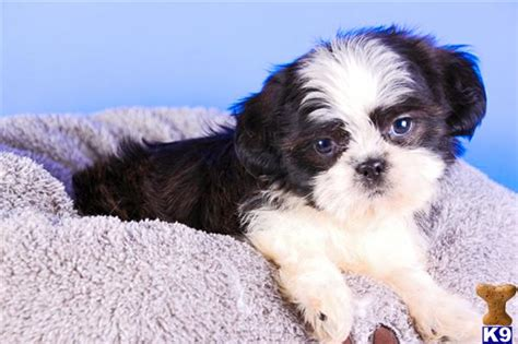 affordable shorkie puppies for sale cheap shih tzu puppies for sale in ohio