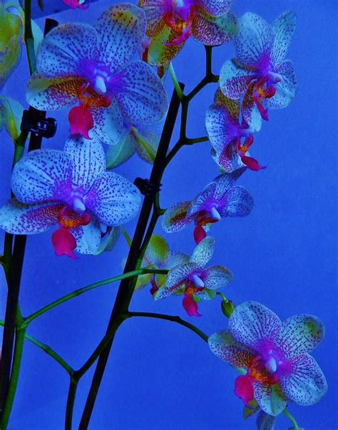 blue orchids for sale blue orchids photograph