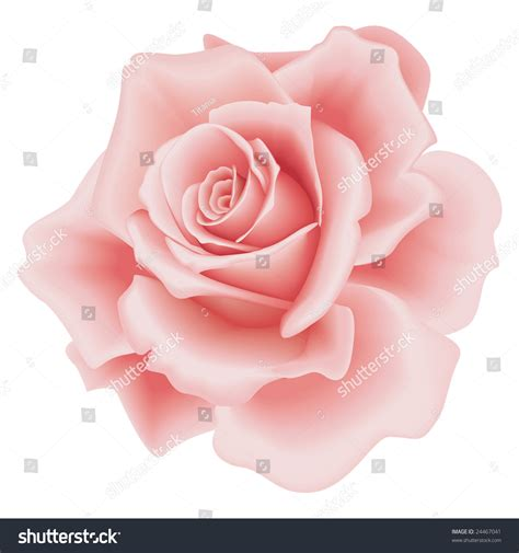 isolated beautiful pink rose on white stock vector