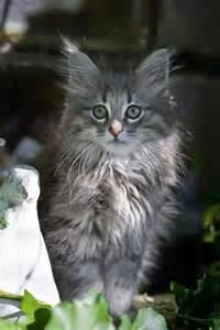 les 25 meilleures id 233 es concernant chats 192 poils longs sur