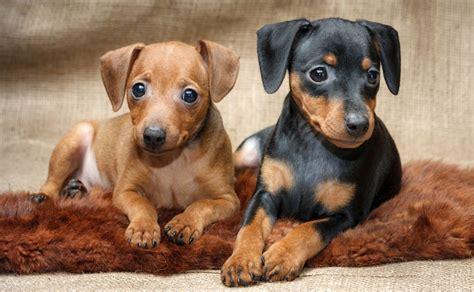 pinscher dogs pinscher dogs let s discover the pinschers breeds dogalize