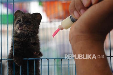 Khazanah Flora Dan Fauna Nusantara quot musang quot akan dirikan museum musang luwak indonesia