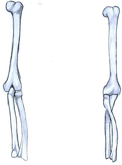 bone drawing arm bone drawing www pixshark images galleries with a bite