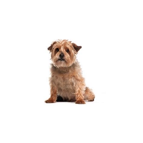 petland ohio puppies norfolk terrier puppies ohio petland carriage place