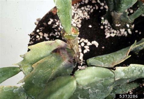 phytophthora root and crown rots phytophthora spp on