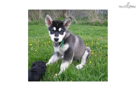 alaskan malamute puppies for sale in michigan alaskan malamute puppy for sale near flint michigan fb80ac0e 5551