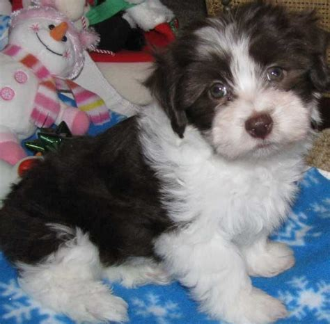 havanese puppies price range havanese akc non shedding puppy to be i will and the future