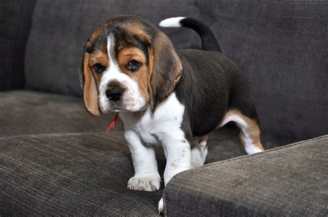baby beagle puppies pin baby beagles pictures on