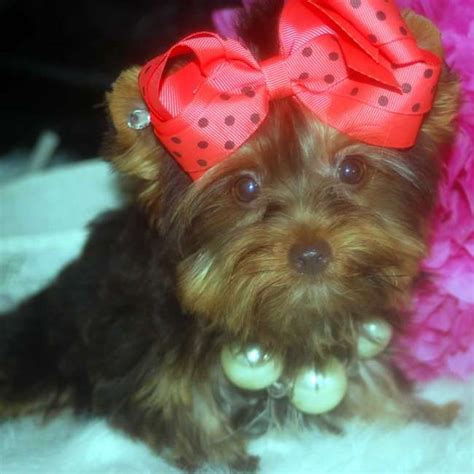 chocolate yorkies for sale chocolate yorkie puppy for sale teacup yorkies sale