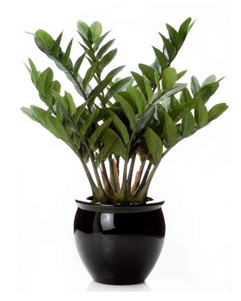 Flower Lights In Vase Exotic 23 Quot Zz Silk Plant At Silkflowers Com