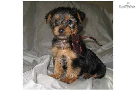 teacup yorkie temperament teacup yorkie puppies ready to go now health guarantee for sale in breeds picture