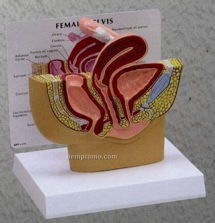 female anatomy cross section anatomical female pelvis cross section model china