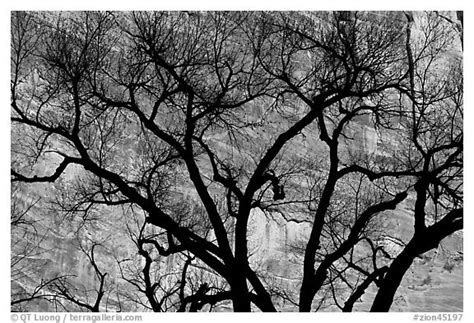 black and white tree pattern black and white picture photo dendritic pattern of tree