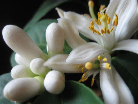 The Lemon Blossom lemon blossom angela s gracious garden
