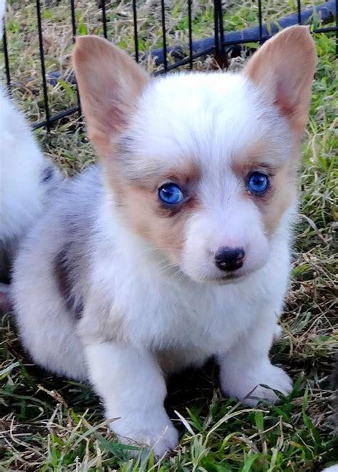 blue merle corgi puppies for sale blue merle pembroke corgi