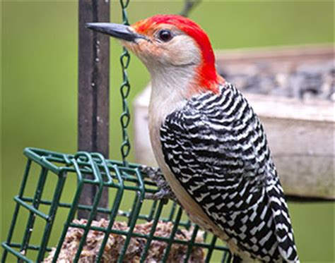 ten bird feeding tips gt northwest illinois audubon society
