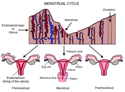 Why Do I Severe Aches During Detox by The Menstrual Cycle An Overview Children S Hospital Of