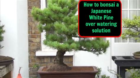 tree water solution how to bonsai a japanese white pine watering and