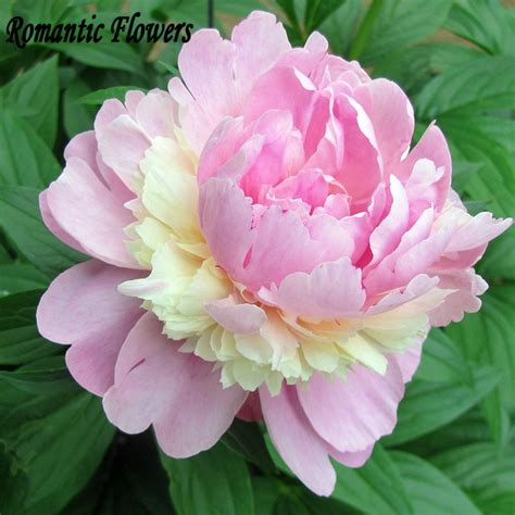 pink peonies and other flowers from long ago new england japanese peonies seeds related keywords japanese peonies