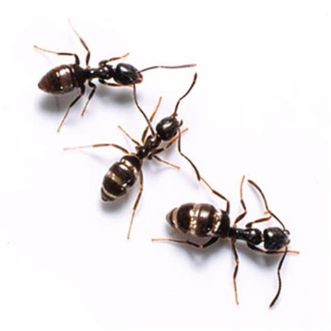 Odorous House Ants by Ants Catseye Pest