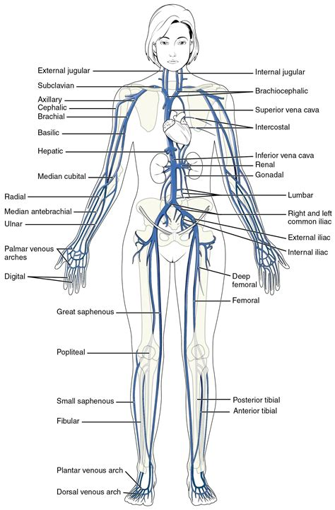 this diagram of the human cycle shows that diagram circulatory system diagram worksheet