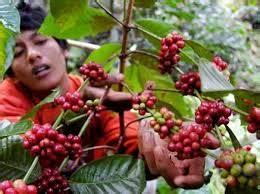 14 cara menanam kopi bagi pemula teknik mudah ilmubudidaya com