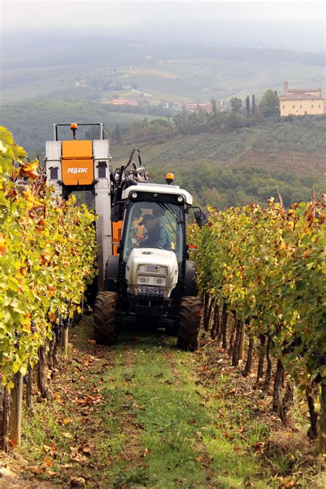 www gabbiano it grape harvest in chianti visiting di gabbiano