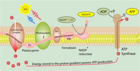 Generation Of Proton Gradients Across Membranes by 1