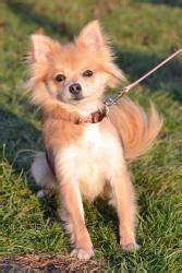 chihuahua half pomeranian adorable dogs on pomeranian chihuahua chihuahua dogs and