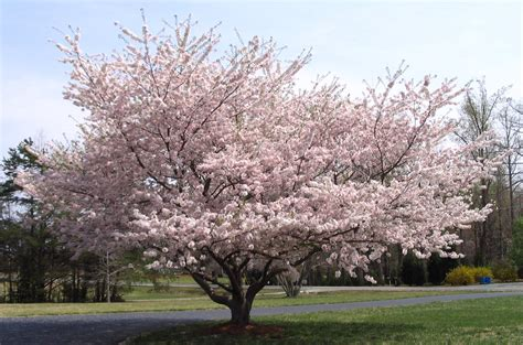 one of my favorite springtime flowers trees is the yoshino sakura hybrid cherry blossoms