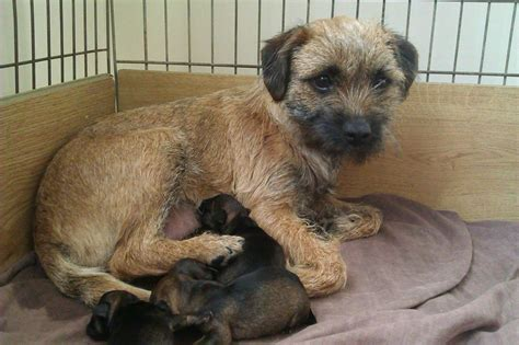 border terrier puppies for sale border terrier